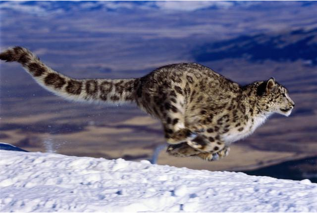 Still image of a snow leopard (Panthera unica) running over snow (blurred motion).