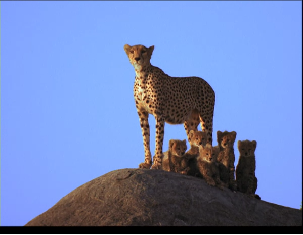 An image of a mother cheetah on a mound in the Serengeti National Park, Tanzania, standing guard over five cubs